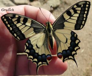 Otakárek fenyklový - Papilio machaon (Linnaeus, 1758)