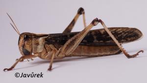 Saranče stěhovavá - Locusta migratoria (Linnaeus, 1758)