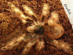 Sklípkan - Nhandu chromatus (Schmidt, 2004)