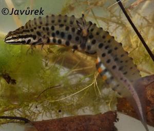 Čolek obecný - Lissotriton vulgaris (Linnaeus, 1758)