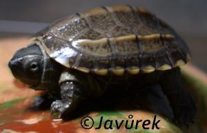 Želva Reevesova - Mauremys reevesii (Gray, 1831)