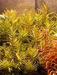 Tuhanka něžná - Ammannia gracilis ( Guillemin & Perrotter )