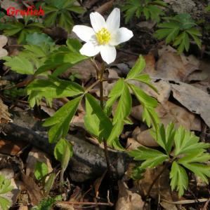 Sasanka hajní - Anemone nemorosa ( Linné )